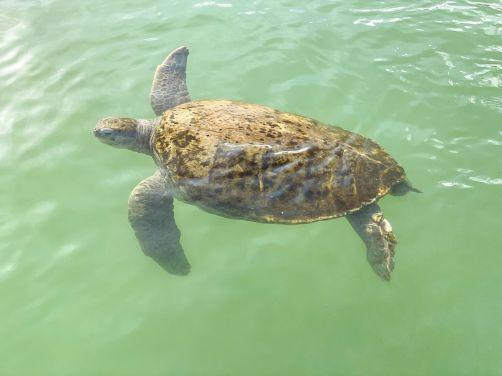 Cayman Turtle Centre-Farma żółwi Kajmany co zobaczyć atrakcje -001
