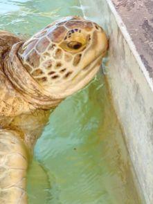 Cayman Turtle Centre-Farma żółwi Kajmany co zobaczyć atrakcje -003
