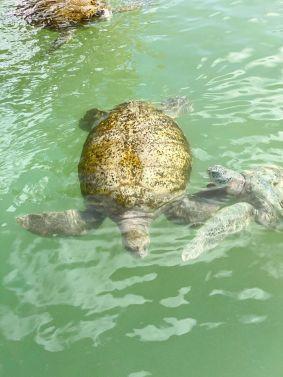 Cayman Turtle Centre-Farma żółwi Kajmany co zobaczyć atrakcje -005