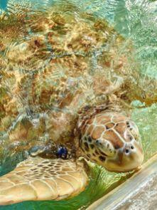 Cayman Turtle Centre-Farma żółwi Kajmany co zobaczyć atrakcje -006