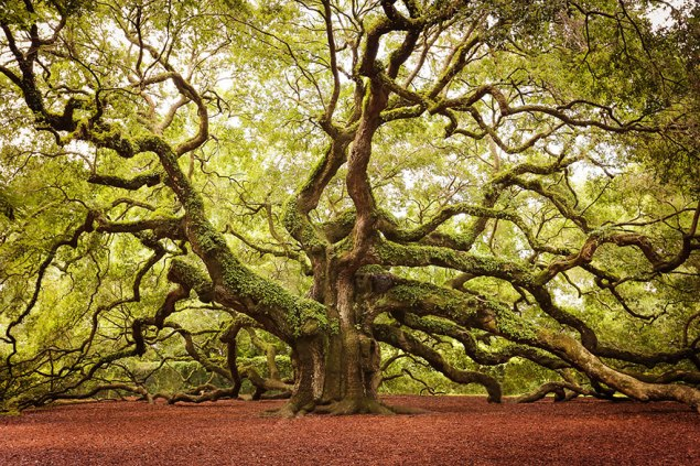 Angel Oak, 1400+ Years Old, South Carolina