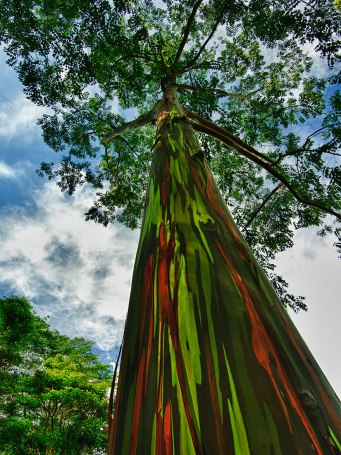Rainbow Eucalyptus, Hawaii