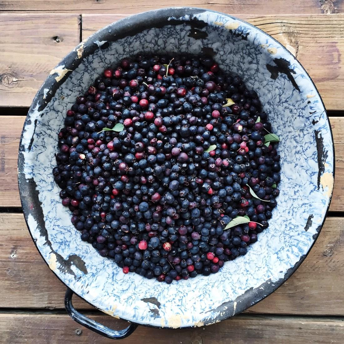 bucket of freshly picked Saskatoon berries