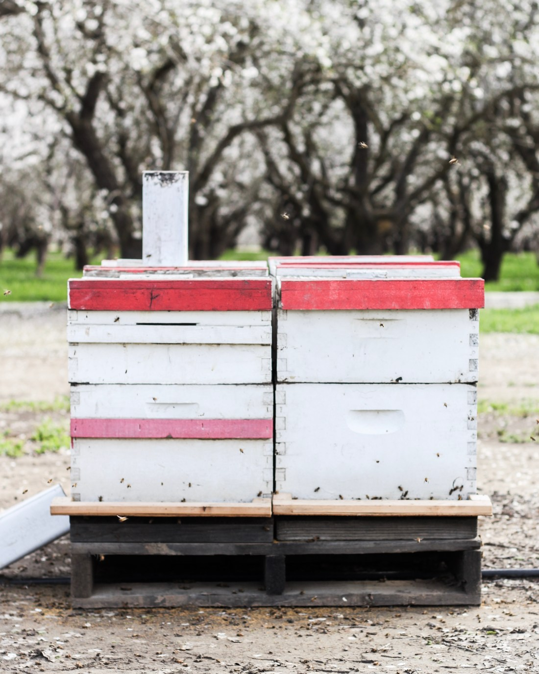 My Orchard Experience: The Top 3 Things I Learned About Almonds in Sacramento!