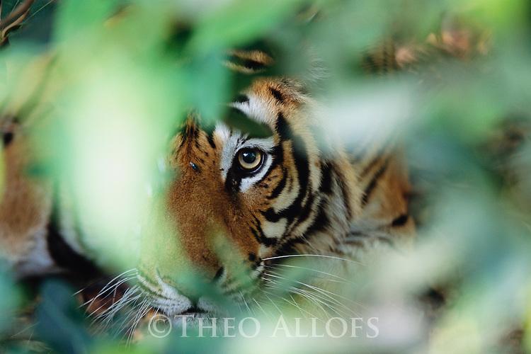 Bandhavgarh National Park, India --- Tiger in Hiding --- Image by © Theo Allofs/CORBIS