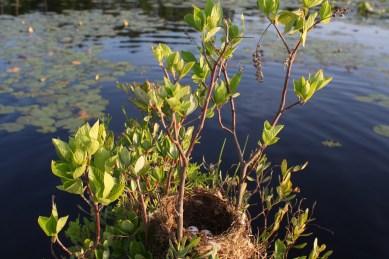 Eastern Kingbird nest