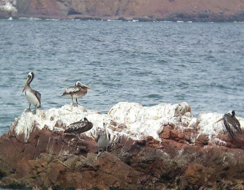 pelican's on rocky Lagunillas shoreline - National Reserve of Paracas - Peru