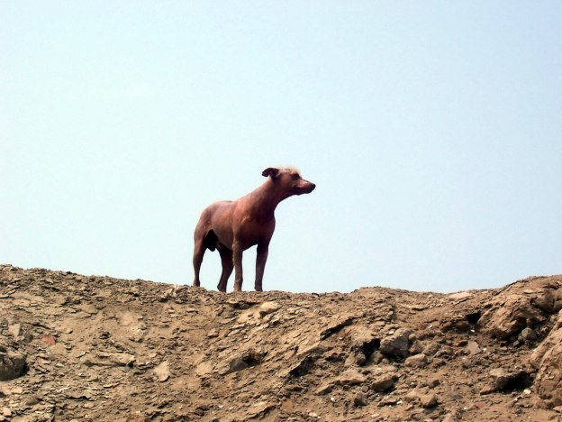 Peruvian hairless dog on a hill at theTemple of Pachacamac ruins near Lima, Peru, South America