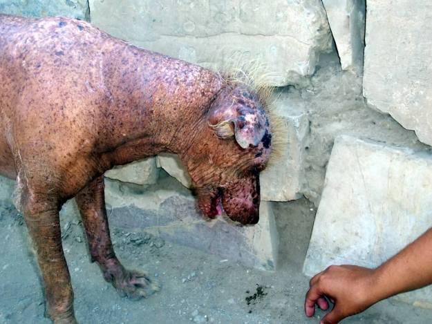 Peruvian hairless dog at theTemple of Pachacamac ruins near Lima, Peru, South America