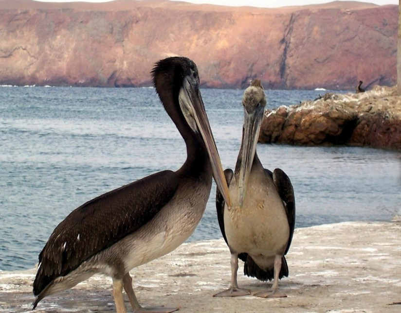 Pelicans on the dock at Playa Lagunillas in Paracas National Reserve, Peru