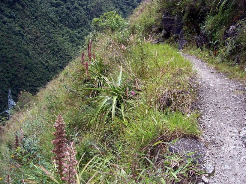 Plants growing along the edge of the Inca trail near Wiñay Wayna in Peru, South America