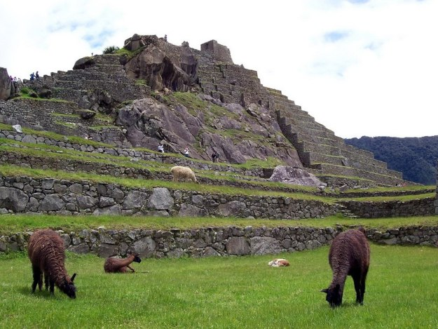 An image of llamas roaming freely at Machu Picchu in Urubamba Province, Peru.