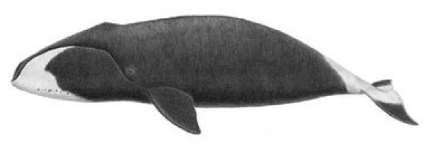 drawing of a bowhead whale