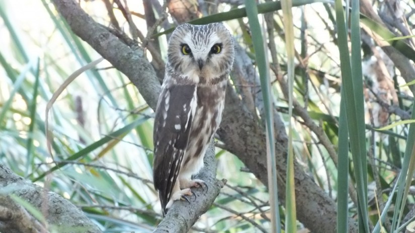 Northern Saw-Whet Owl sitting on a tree limb at Milliken Park in Toronto, Ontario, Canada