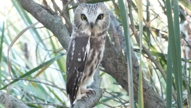 """Northern Saw Whet Owl"""