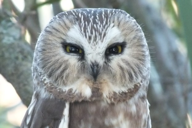 Northern Saw-Whet Owl sitting in tree in Toronto park