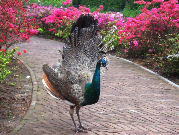 Peacock with its tail open on a pathway at Keukenhof Gardens in the Netherlands.