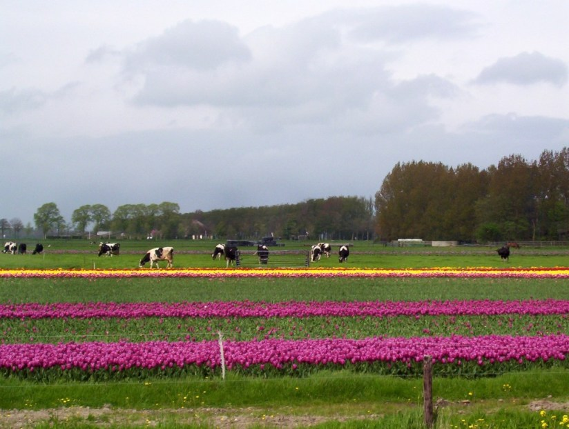 An image of cows in field beside a field of yellow and purple tulips near Lisse in the Netherlands. Photography by Frame To Frame - Bob and Jean.