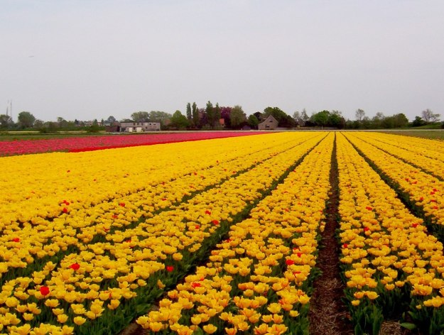 An image of yellow tulips growing in a farm field near Keukenhof Gardens in Lisse, the Netherlands. Photography by Frame To Frame - Bob and Jean.