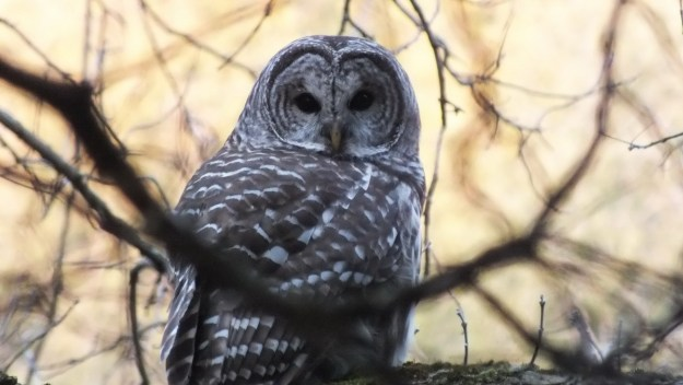 Barred Owl looking back at me with yellow sky