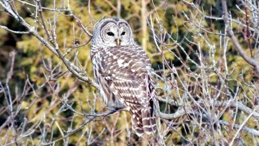 Barred Owl looking right