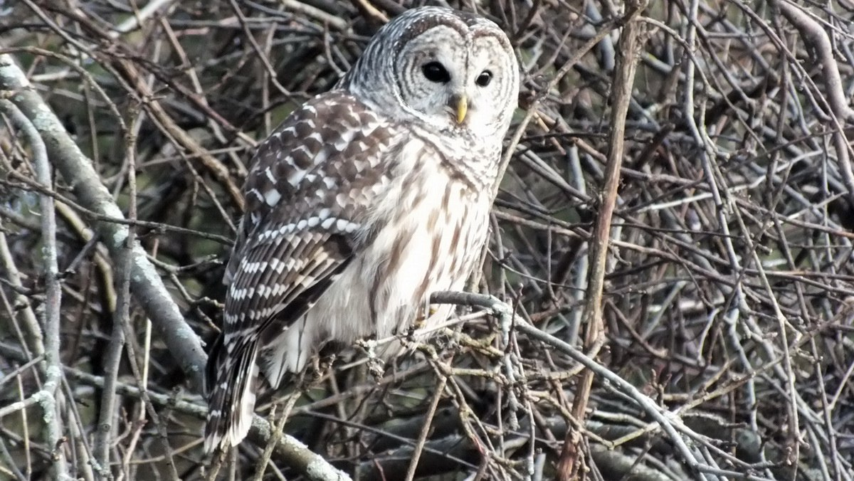 Great horned owl essay
