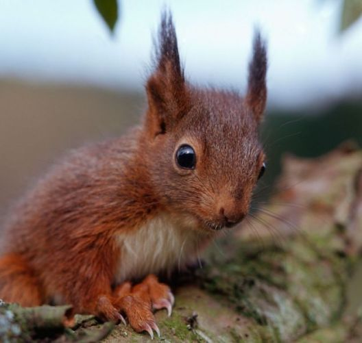 red squirrel with weird ears