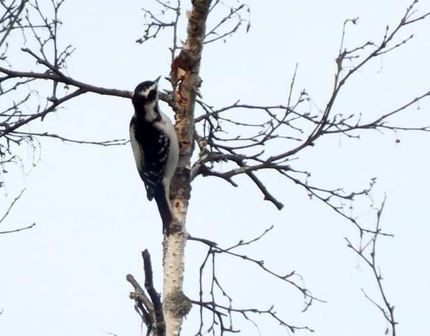 female Hairy Woodpecker, oxtongue lake, ontario