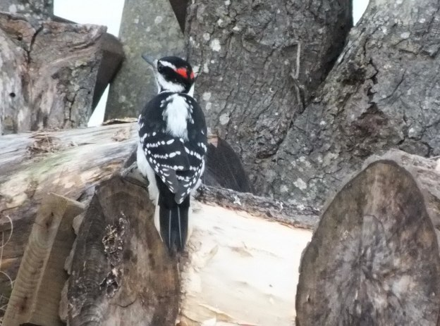 Male Hairy Woodpecker checking out logs in the ground