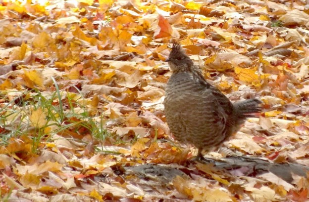 Ruffed Grouse near algonquin park