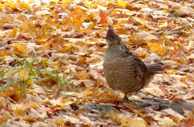 Ruffed Grouse near algonquin park
