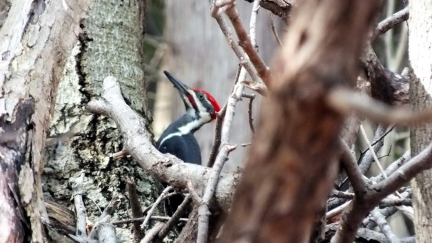 pileated woodpecker, Rouge National Park2