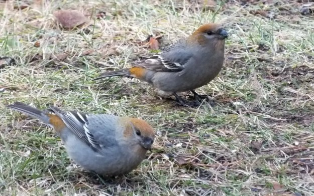 2 female Pine Grosbeaks at Oxtongue Lake