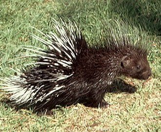 African Porcupine with long quills