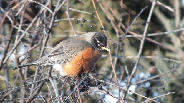 American Robin sitting among berries on a tree at Thickson's Woods in Whitby, Ontario, Canada