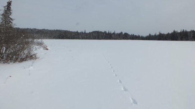 Animal tracks in snow, Fen Lake - Algonquin Park - Ontario