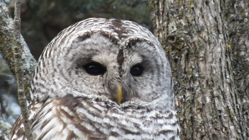 Barred Owl closeup of face - Thickson's Woods - Whitby - Ontario