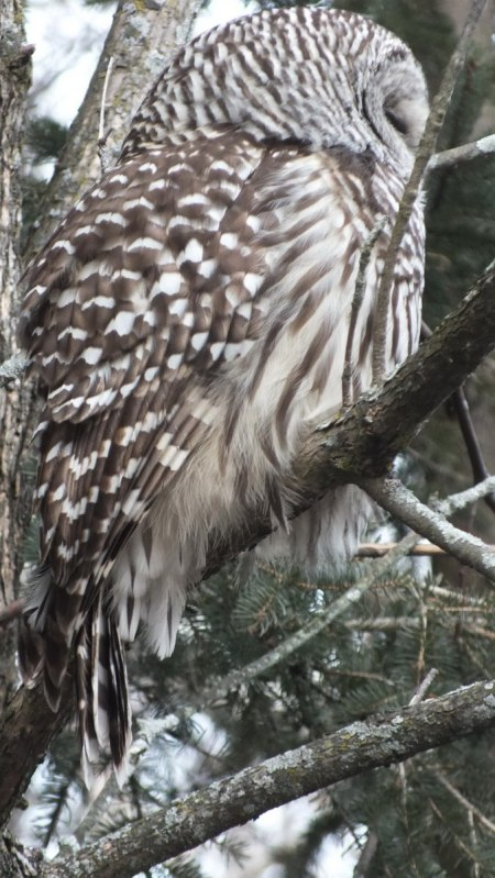 Barred Owl feathers on back - Thickson's Woods - Whitby - Ontario