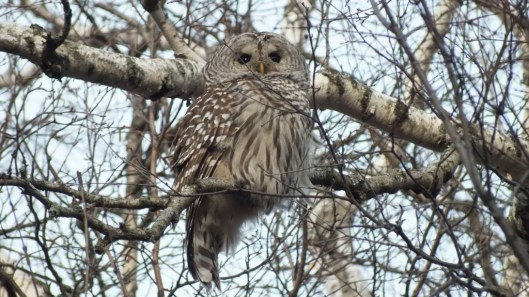 Barred Owl in camouflage- Thickson's Woods - Whitby - Ontario