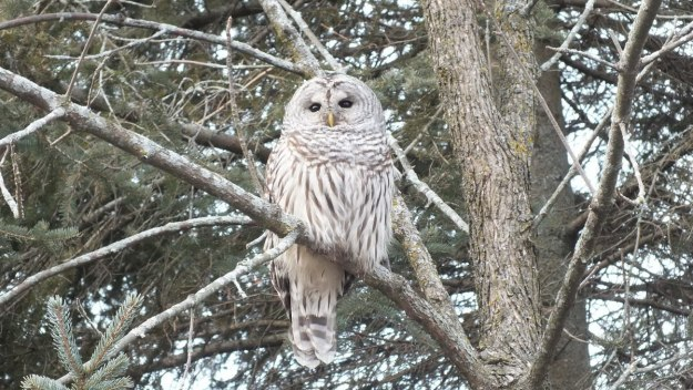 Barred Owl sits in tree- Thickson's Woods - Whitby - Ontario