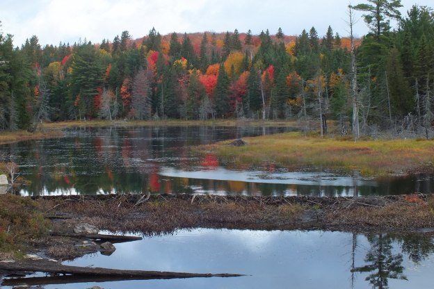 Beaver dam in Algonquin Park - fall - Ontario