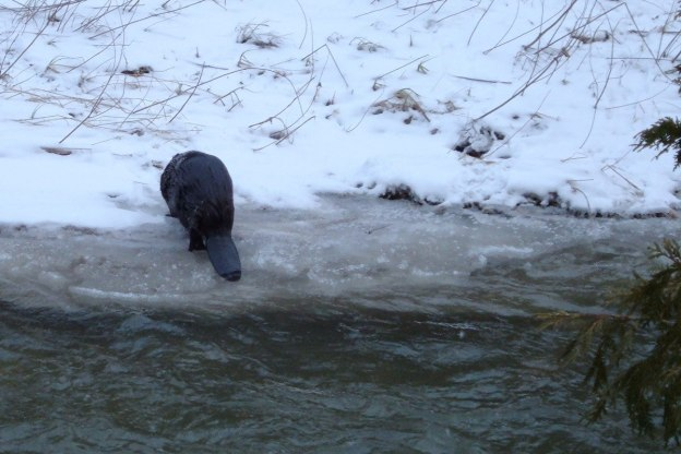 Beaver exits Green River - Pickering - Ontario