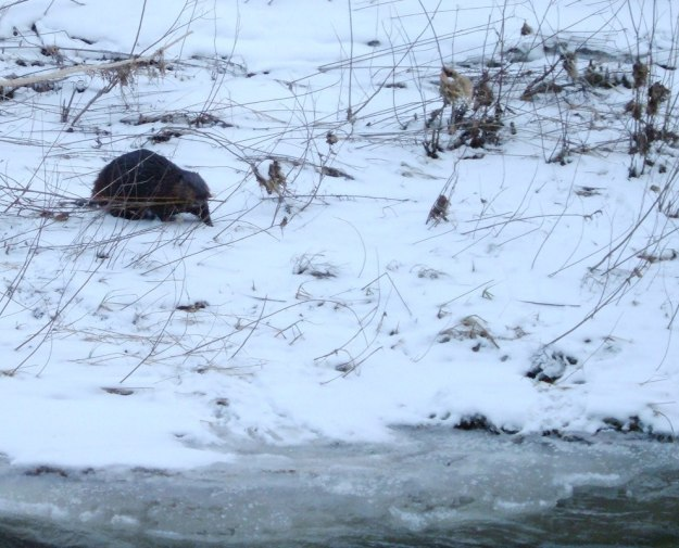 Beaver heads towards Green River - Pickering - Ontario