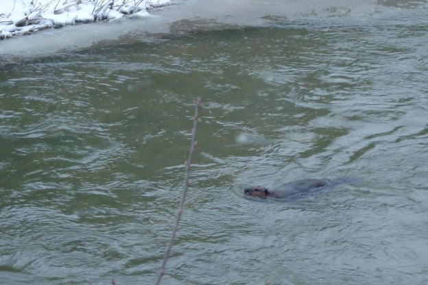 Beaver swims down stream on Green River - Pickering - Ontario