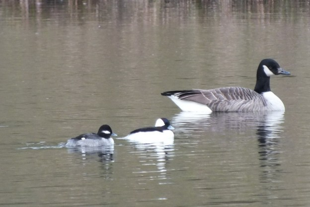 Bufflehead Ducks, male & female, Rouge National Park, Toronto