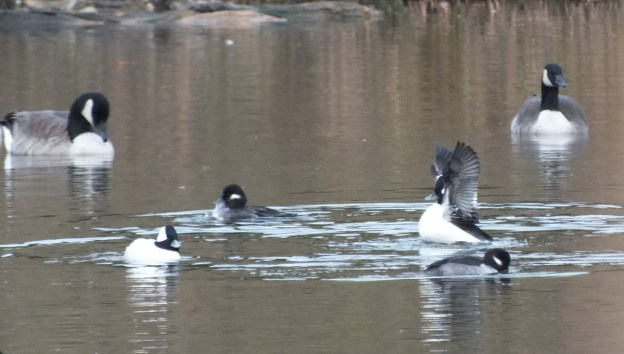 Bufflehead Ducks mingle with Canada Geese, Rouge National Park, Toronto