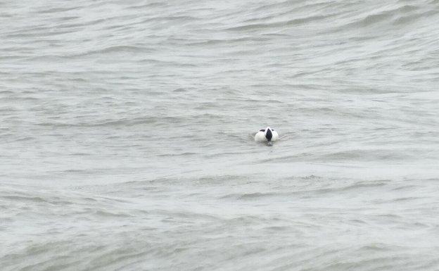 Bufflehead duck floats by, Lake Ontario