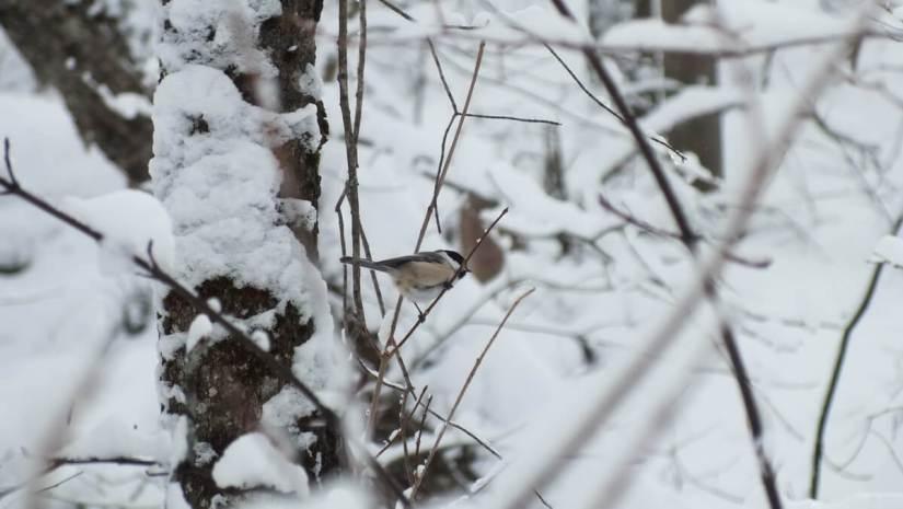 Chickadee on Fen Lake Ski Trail - Algonquin Park - Ontario