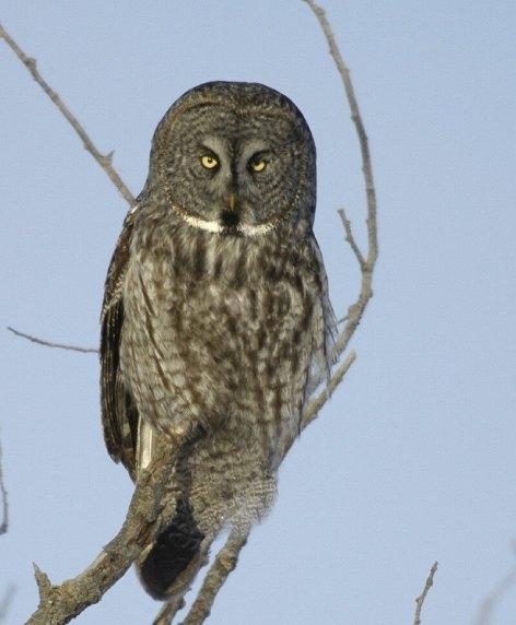 Great Grey Owl sitting on tree