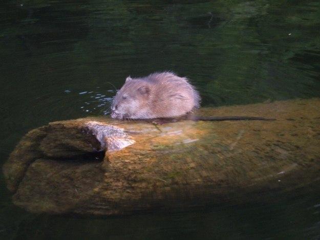 Jean spots a Muskrat sitting on log in river